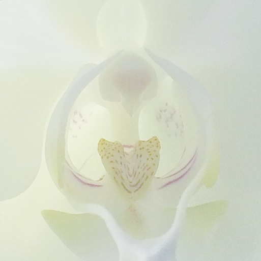 Photo of a white phalaenopsis orchid flower. Copyright J.D. Lexx